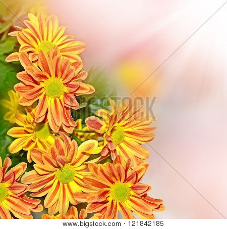 Flowering Branches Chrysanthemum. Beautiful Flowers