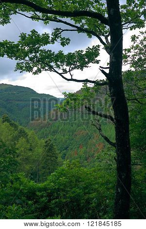 Rheidol Valley Tree