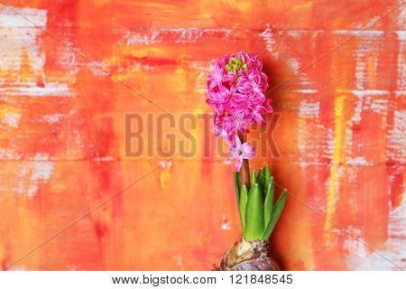 Hyacinth Flower Photo