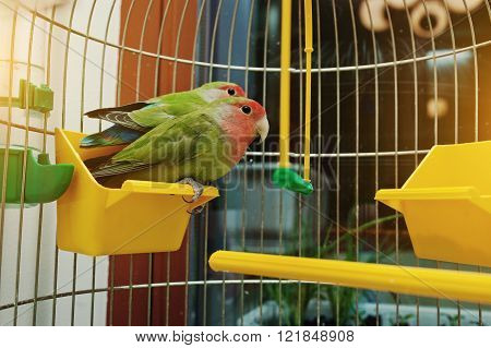 Rosy Faced Lovebird Parrot In A Cage