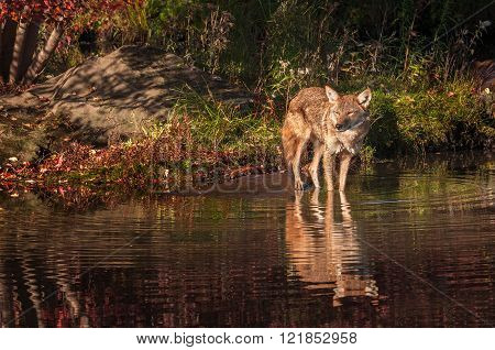 Coyote (canis Latrans) Stands On Shore