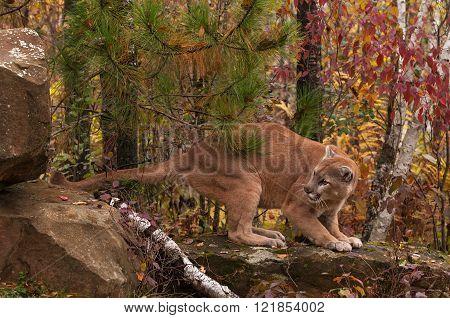Adult Male Cougar (puma Concolor) Looks Back
