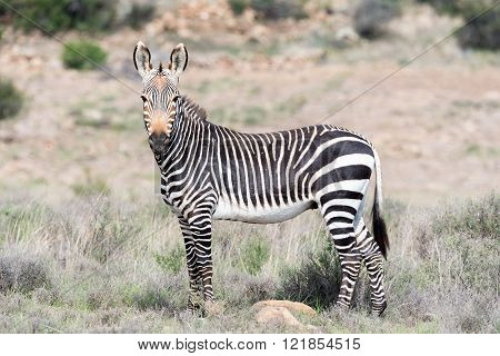 A mountain zebra, Equus zebra zebra, in the Mountain Zebra National Park near Cradock in South Africa