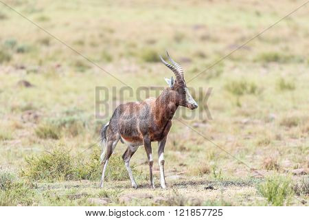 A wet blesbok Damaliscus pygargus phillipsi in the Mountain Zebra National Park near Cradock in South Africa