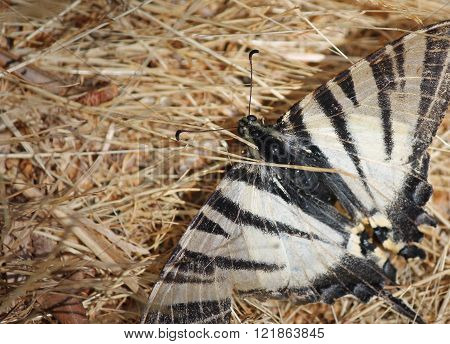 Zebra swollowtail Butterfly moth Papilionidae family on straw
