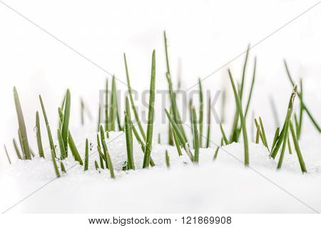 Spring Grass In White Snow