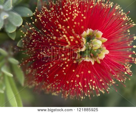 Red Pohutakawa Flower  bush growing in Arizona