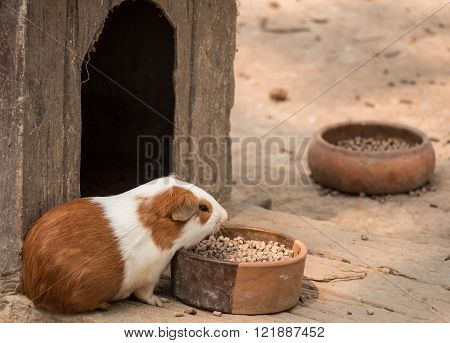 Cute guinea pig feeding in the zoo.