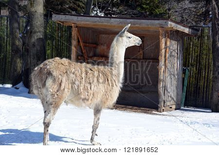 The llama in winter time (Lama glama) is a South American camelid, widely used as a meat and pack animal by Andean cultures since pre-Hispanic times.