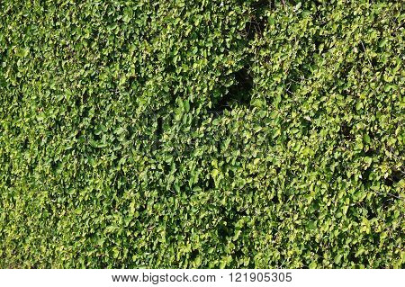 Wall from green plants