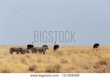 Ostrich Struthio Camelus, In Etosha, Namibia