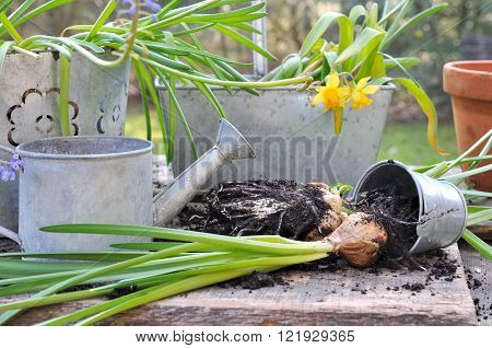 uprooting bulbs flowers in front of metal pots