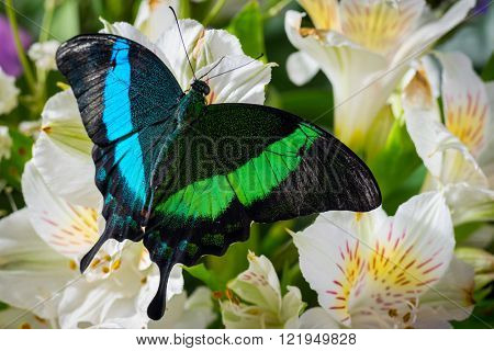 Butterfly Papilio Palinur  on the flowers