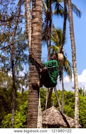 Mombasa Kenya - 07 January: man climbs a tree to collect coconuts on January 7 2013 in Mombasa Kenya.