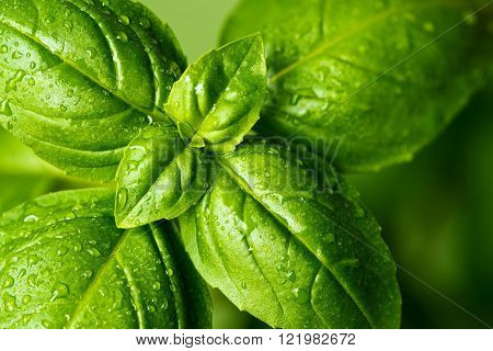 A closeup of fresh basil leaves with water drops
