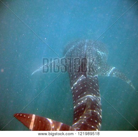 A back view of a whale shark (Rhincodon typus) the largest fish alive. Spotted while snorkling near Cancun Mexico.