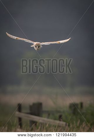 Barn owl hunting early morning over wild meadows with light through wing feathers flying over fence (Tyto alba)