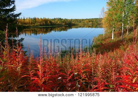 beautiful autumn colors (ruska) in finnish lapland