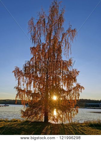 birch tree at sunset, fall colors, finland