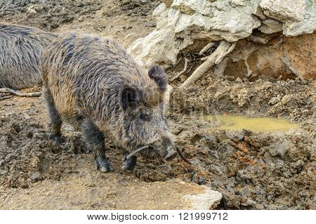 Wild boars on dirty water and mud. Closeup wild boar (sus scrofa) in water view profile.