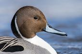 Northern Pintail Drake Anas Acuta closeup of the duck swimming. poster