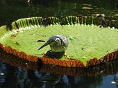 A Green Backed Heron (Butorides striatus) on a lilly pad. poster