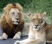 a lion and lioness in a game reserve in south africa. poster