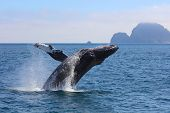 Humpback Whale Breaching from Pacific Ocean in Kenai Fjords National Park Alaska with mountain island in background poster