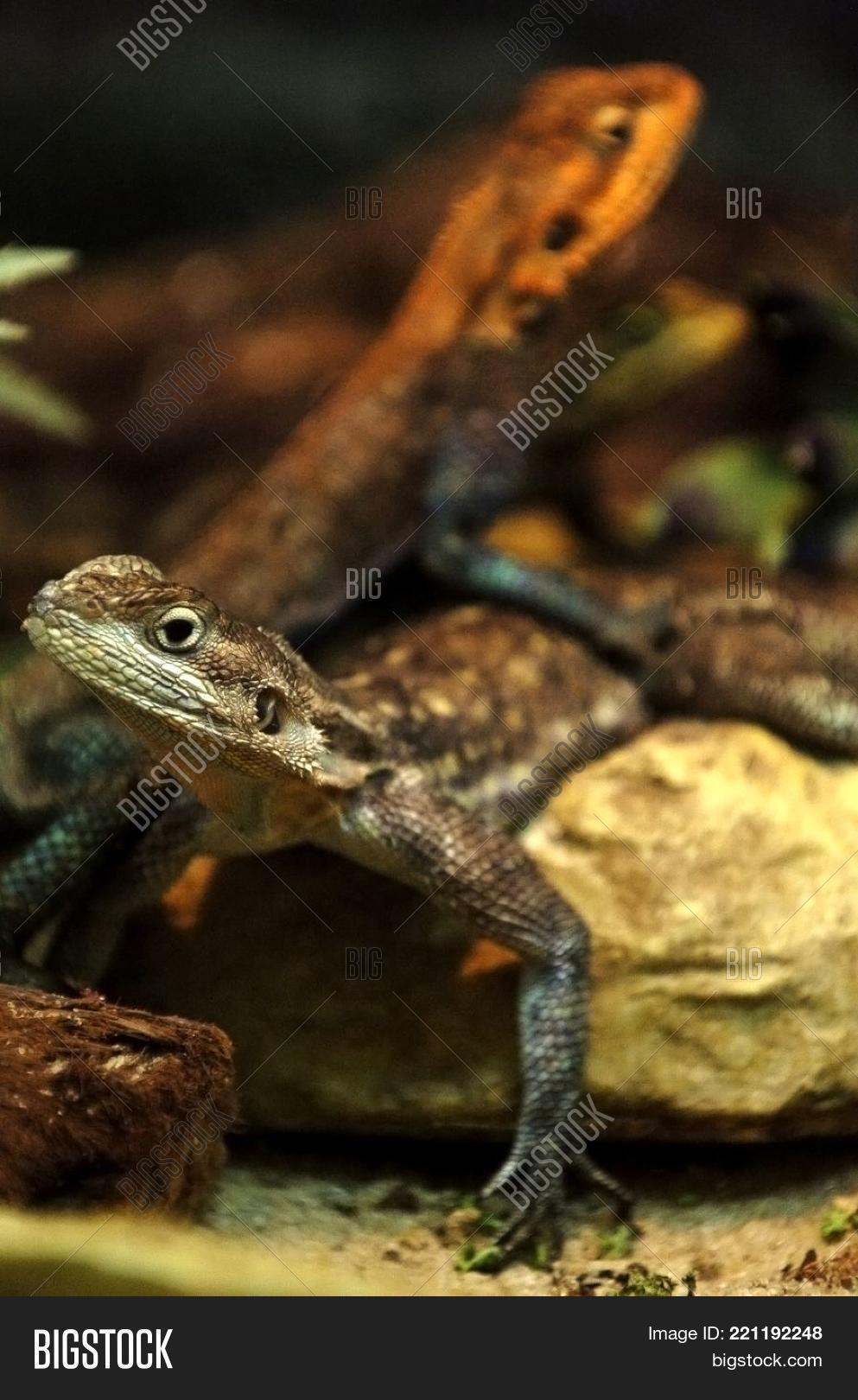 Two Small Cute Lizards Image Photo Free Trial Bigstock