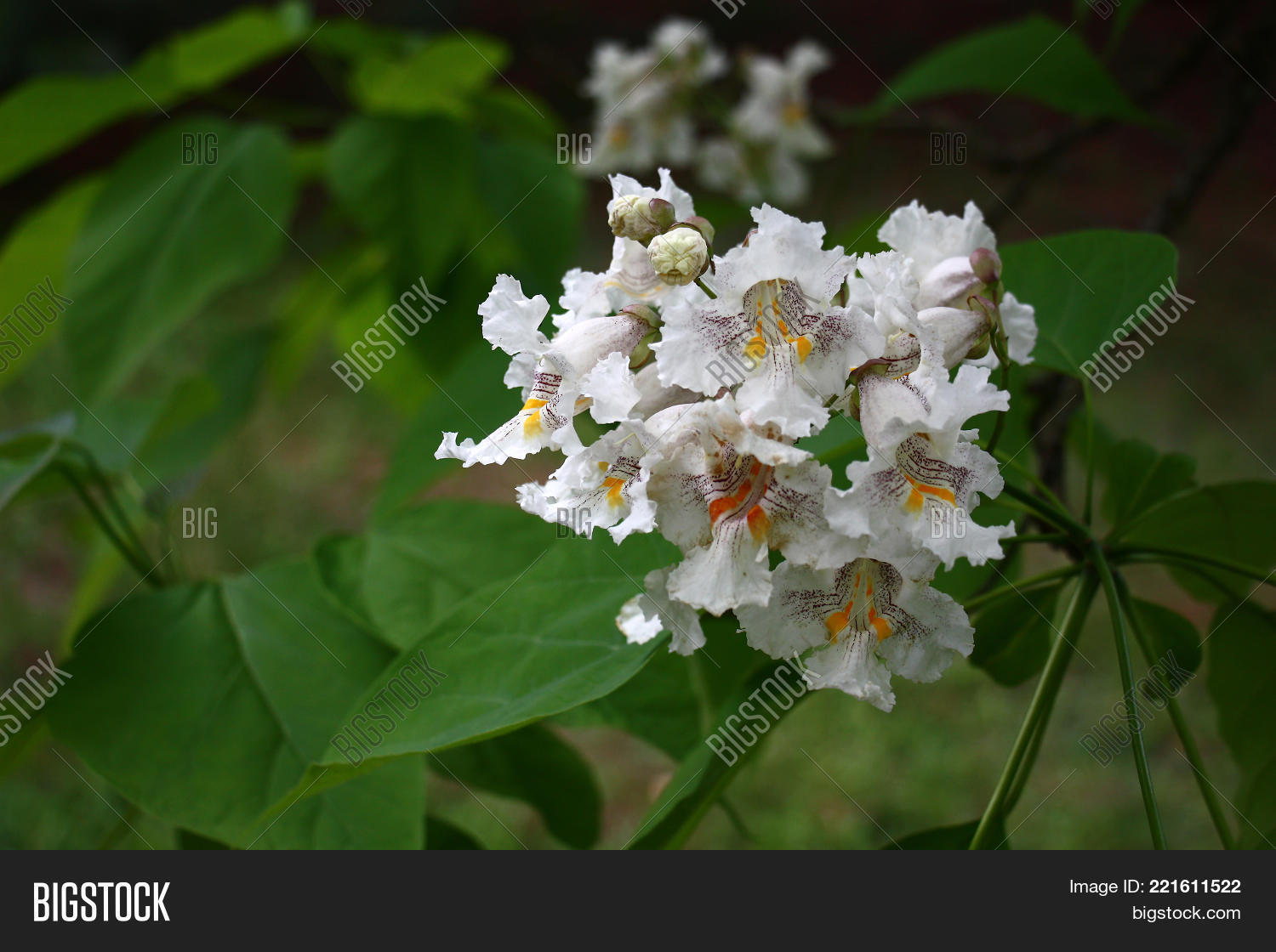 Catalpa bignonioides image photo free trial bigstock the catalpa bignonioides among large green leaves has white flowers with bright stains mightylinksfo
