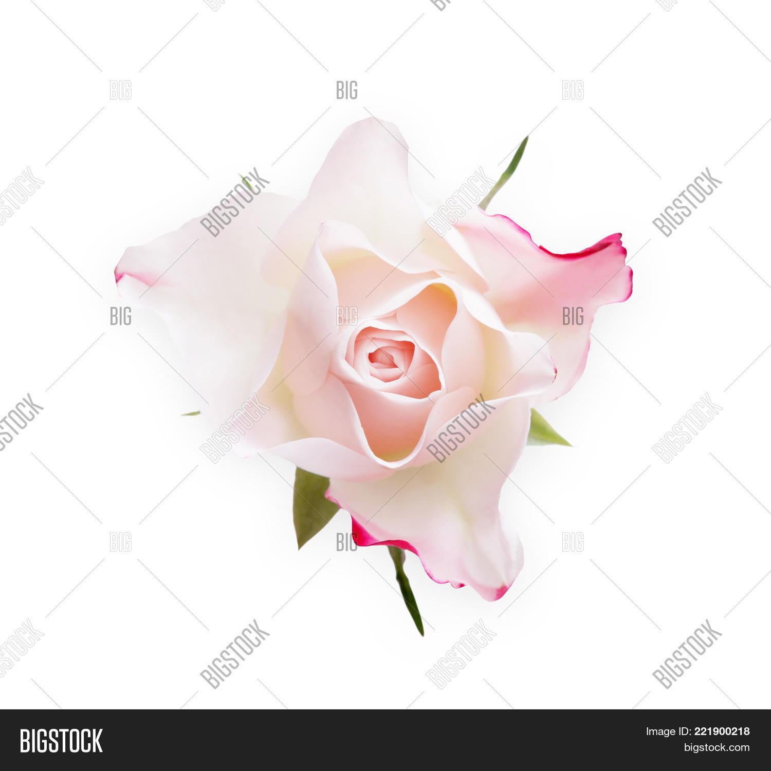 White rose flower closeup isolated image photo bigstock white rose flower closeup isolated on white background top view pale pink bud as buycottarizona Choice Image