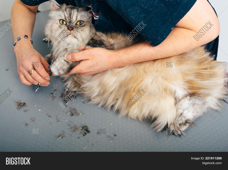 Longhair Cat Grooming Image Photo Free Trial Bigstock