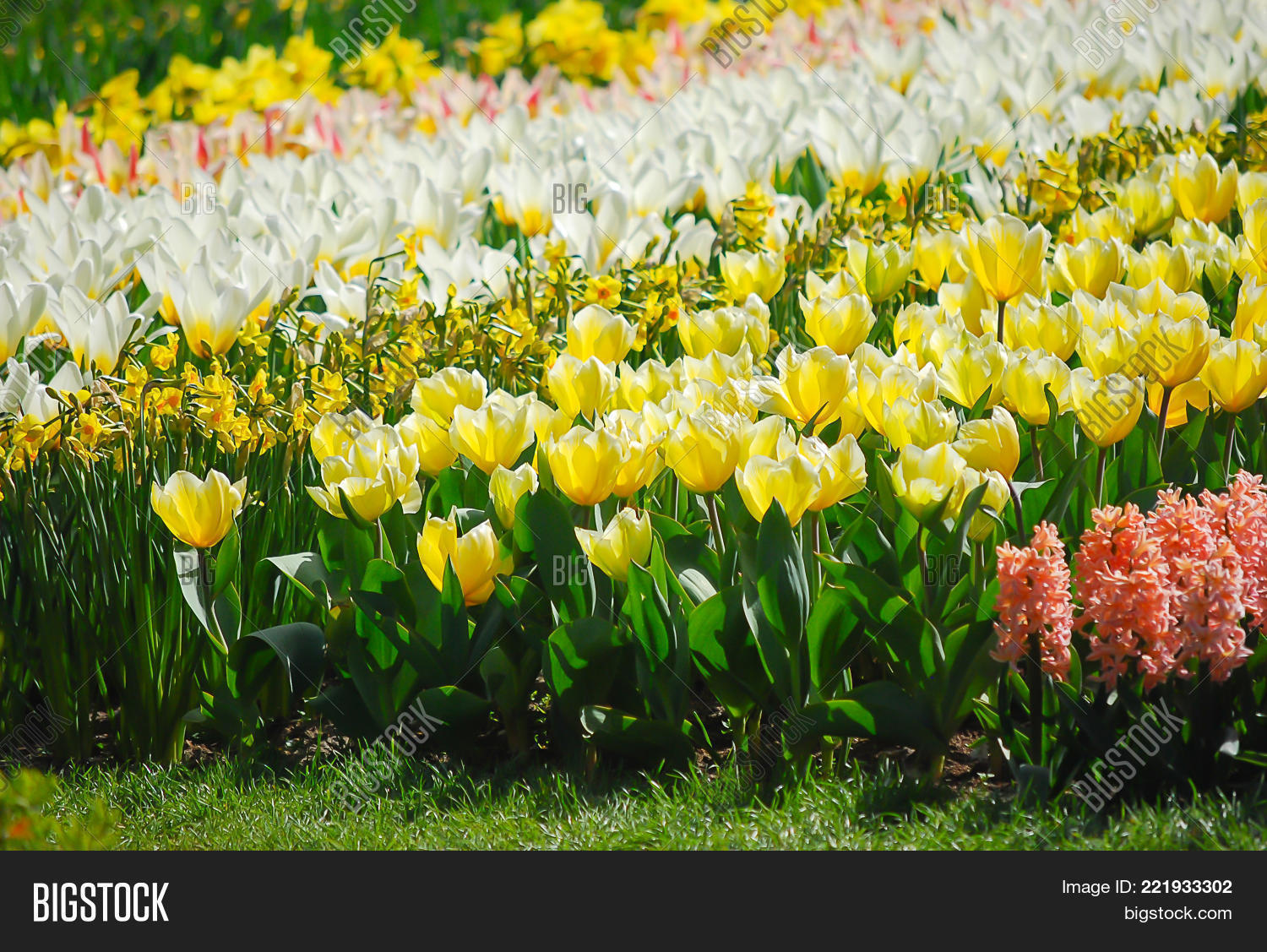 Flowers mix type image photo free trial bigstock flowers mix type of tulips in garden nature in spring season tulips in creamy mightylinksfo