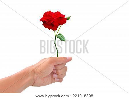 The hand of a man holding a rose is about to be handed on white background ,isolated of hand holding a rose