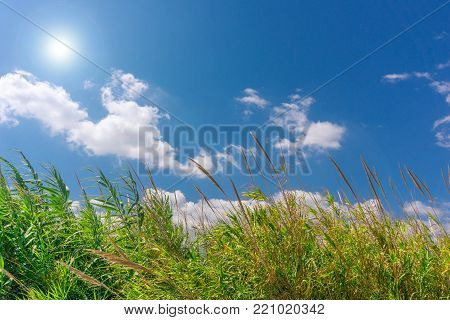 Close-up of in the wind blowing green Reeds in Summer. View to beautiful green Reeds in Sunlight. Summer and Nature Backgrounds.