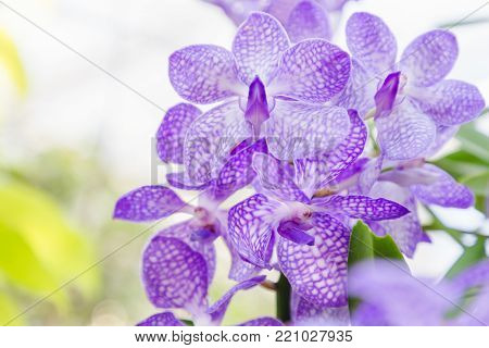 Orchid flower in orchid garden at winter or spring day for postcard beauty and agriculture idea concept design. Vanda coerulea orchid. Purple orchid.