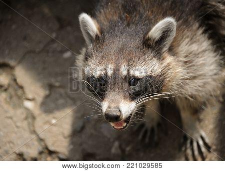 A  raccoon (Procyon lotor) in an austrian wildlife park