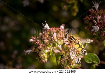A flower fly visiting a marjoram plant (Origanum vulgare)