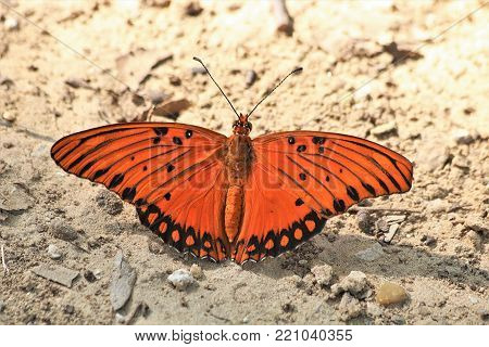 Close-up of orange and black Gulf fritillary butterfly sitting on white gravel ground, with wings spread.