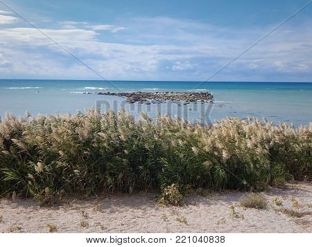 Thickets of reeds on the shore of the Caspian Sea.