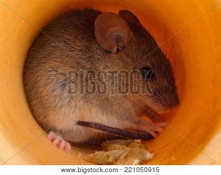 closeup  cute gray  field mouse (Apodemus) hides inside of hole