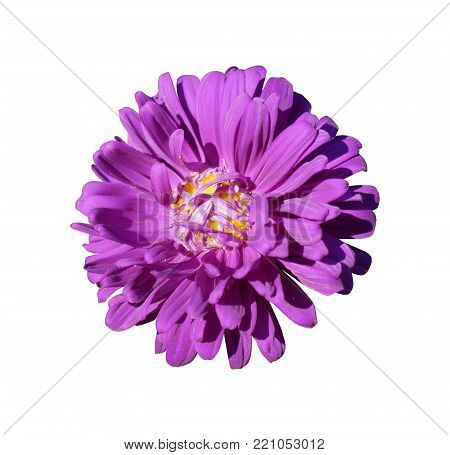 One purple with yellow center aster callistephus flower isolated on white.