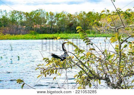 black swamp bird in a tree in Florida marsh