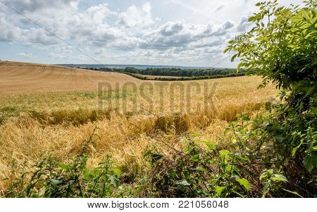 Wheat field and English countryside. A rural English countryside scene with a field of wheat in the heat of the summer sun.