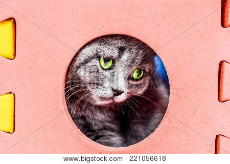 Scottish Straight kitten plays in play cube. soliert on white background