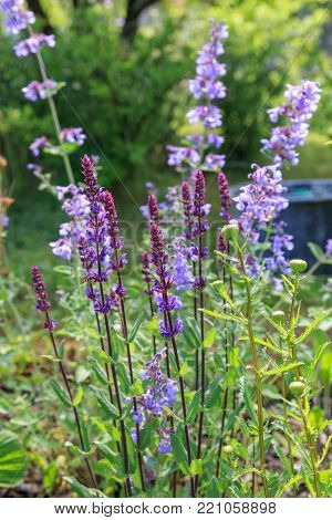 Background or Texture of Salvia nemorosa 'Caradonna' Balkan Clary , Nepeta fassenii 'Six Hills Giant', snapdragon, carnation in a Country Cottage Garden in a romantic rustic style. Latvia