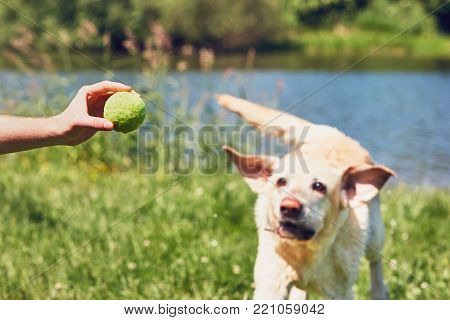 Man playing with his dog. Happy labrador retriever running for tennis ball.