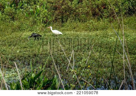 white ibis and glossy ibis wading in the marsh