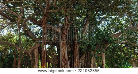 Big summer tree Moreton Bay Fig (banyan tree, Ficus macrophylla), one of the largest of these trees in Italy. Palermo Villa Garibaldi park on Piazza Marina, Palermo, Sicily, Italy