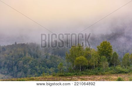 birch forest on foggy morning. beautiful nature scenery in autumn